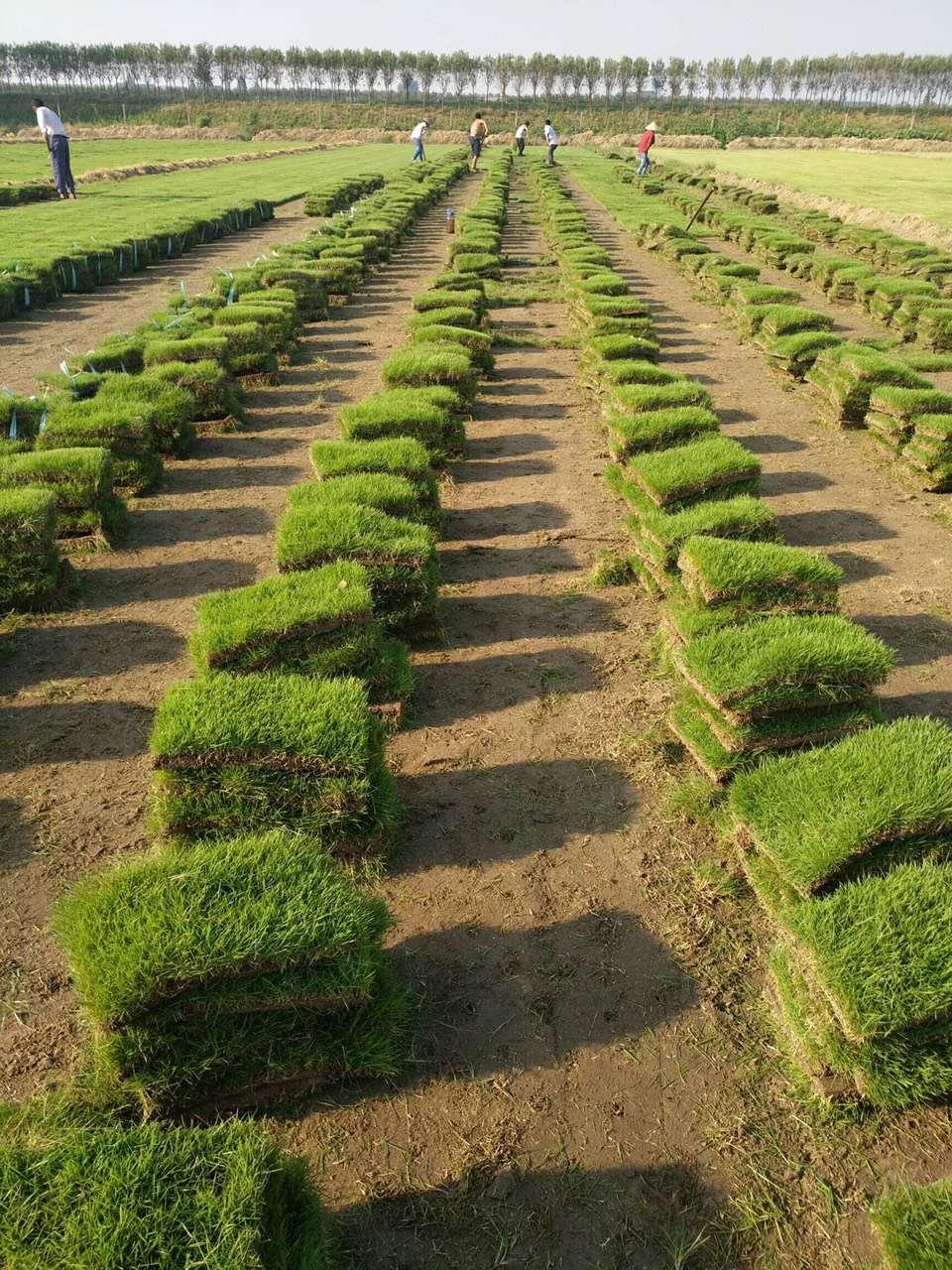 市政绿化草坪