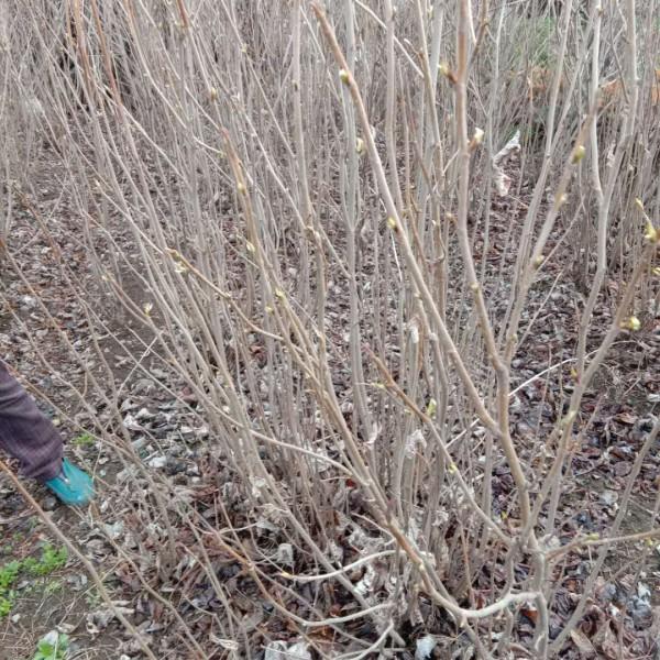 供应天女木兰、天女木兰种子、天女木兰小苗、天女木兰树