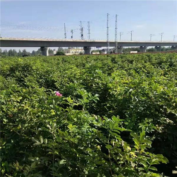 四季玫瑰批发基地 价格低规格全