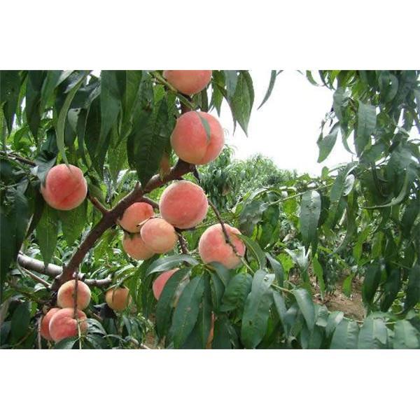 沙红桃树苗