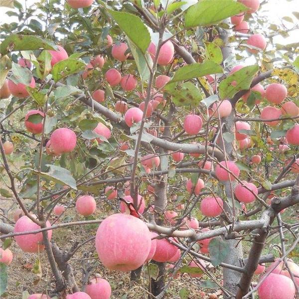 富士苹果苗