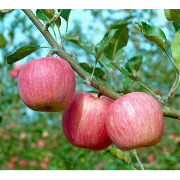 秦冠苹果苗