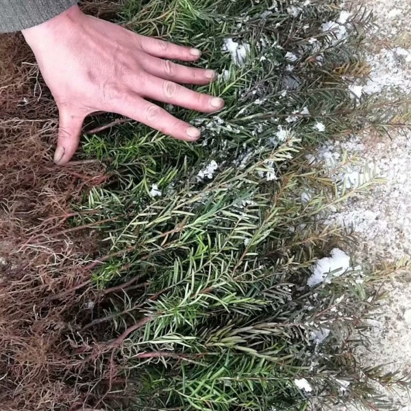 吉林红豆杉苗价格,四平东北红豆杉苗占地苗保湿邮寄