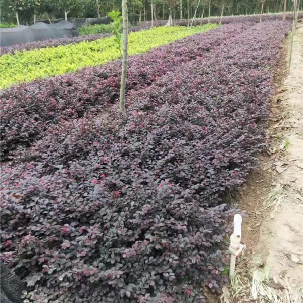 红花继木色块苗