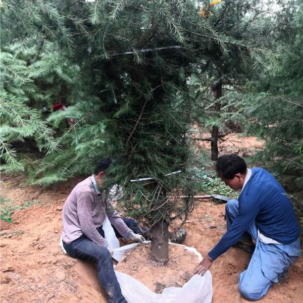工人挖树中